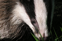 badger in berkshire