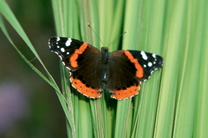 red admiral butterfly in berkshire