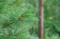 pine tree in berkshire